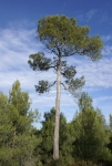 Pinus halepensis (Pino carrasco)